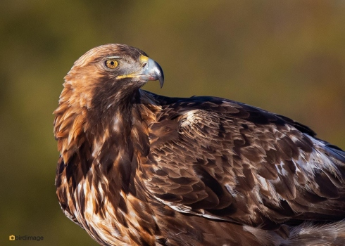 Steenarend-Golden-Eagle-14
