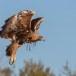 Steenarend-Golden-Eagle-02
