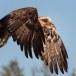 Steenarend-Golden-Eagle-03