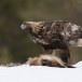 Steenarend-Golden-Eagle-05