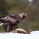 Steenarend-Golden-Eagle-06