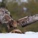 Steenarend-Golden-Eagle-07
