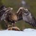 Steenarend-Golden-Eagle-08