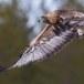 Steenarend-Golden-Eagle-09