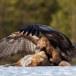 Steenarend-Golden-Eagle-10