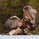 Steenarend-Golden-Eagle-11