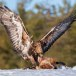 Steenarend-Golden-Eagle-13