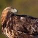 Steenarend-Golden-Eagle-14