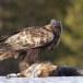 Steenarend-Golden-Eagle-16