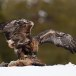Steenarend-Golden-Eagle-17