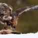 Steenarend-Golden-Eagle-18