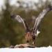 Steenarend-Golden-Eagle-19