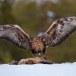 Steenarend-Golden-Eagle-20