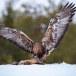 Steenarend-Golden-Eagle-21