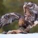 Steenarend-Golden-Eagle-22