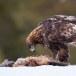 Steenarend-Golden-Eagle-23