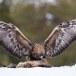 Steenarend-Golden-Eagle-24