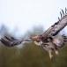 Steenarend-Golden-Eagle-26
