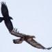 Steenarend-Golden-Eagle-27