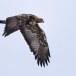 Steenarend-Golden-Eagle-28