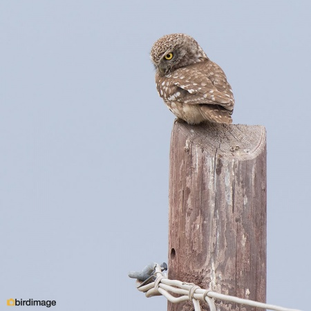 Steenuil - Little Owl 32