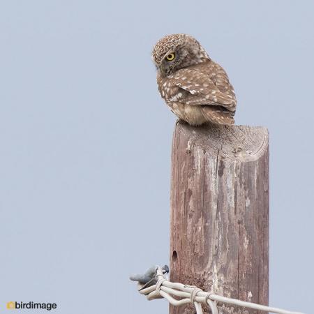 Steenuil - Little Owl 32