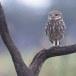 Steenuil-Little-Owl-38
