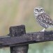 Steenuil-Little-Owl-39