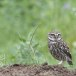 Steenuil-Little-Owl-40