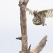 Steenuil-Little-Owl-41