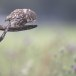Steenuil-Little-Owl-42
