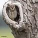 Steenuil-Little-Owl-44