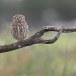Steenuil-Little-Owl-46