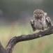 Steenuil-Little-Owl-47