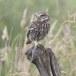 Steenuil-Little-Owl-48