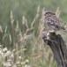 Steenuil-Little-Owl-50