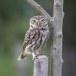Steenuil-Little-Owl-51