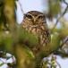 steenuil-little-owl-02