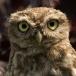 steenuil-little-owl-04