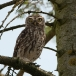 steenuil-little-owl-05