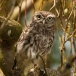 steenuil-little-owl-08