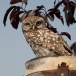 steenuil-little-owl-09