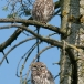 steenuil-little-owl-12