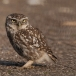 steenuil-little-owl-13