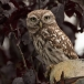 steenuil-little-owl-15