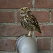 steenuil-little-owl-17