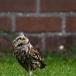 steenuil-little-owl-19