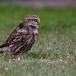 steenuil-little-owl-23