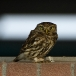 steenuil-little-owl-27