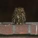 steenuil-little-owl-29